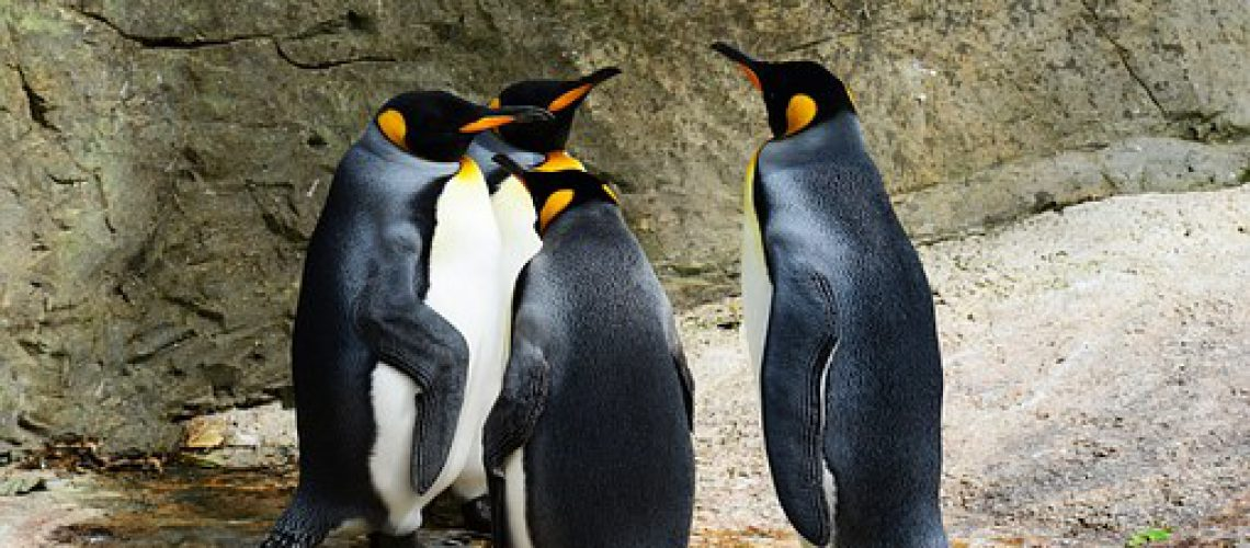 king-penguin-384252__340